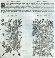 Flor Anagyris Grabado Botánica Matthioli Mattioli Matthiole Dioscorides