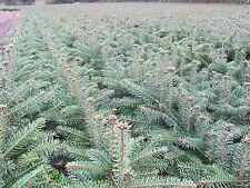 Abies nordmanniana Tlugi 5j 50 St Nordmanntanne Tanne  Weihnachtsbaum Christbaum