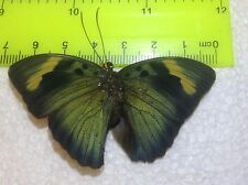 TOG17 A+/ A  Euphaedra  Forester Papilio