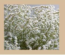 Dumosa White dried flowers, white flowers ideal for decoration, resin,crafts,DIY