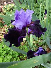 Tall Bearded Tb Iris Dangerous Mood Velvet Blue Perennial Plant Rhzome