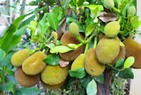Organic Durian Seeds Outdoor Perennial Tasty Juicy Bonsai Potted Fruit