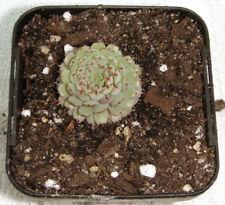 Echeveria Full Sun Cactus & Succulent Plants