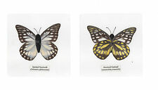 Laminated Spotted Sawtooth Prioneris thestylis Butterfly Specimen in 11x11 cm