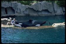 531056 Killer Whale Show Seaquarium Vancouver A4 Photo Print