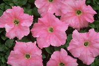 50 Pelleted Supercascade Blush Petunia Seeds Super Cascade Petunia trailing