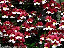 NEMESIA Strumosa Red White Flower Bedding Baskets Hanging Trailing 60 Seeds