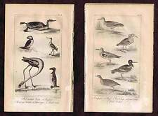 Red Necked Grebe-Puffin-Water Crake-Sandpiper - 1830 Goldsmith Copper Engraving