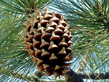Coulter Pine (Pinus Coulteri) 3 seeds