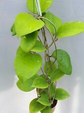 Hoya balensis [B29J1],1 pot rooted plant20-22 inchesUnique!
