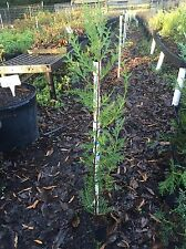 Murray Cypress 10 Trees- New Improved Leyland Cypress. 2/3ft