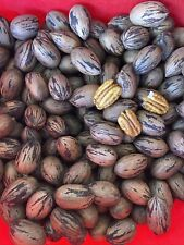 Pecans In Shell. Large Stuart Variety. 8 Pounds Whole Nuts. 10/2020 Crop