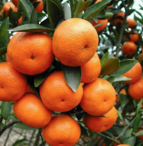 MANDARIN TANGERINE ORANGE FRUIT TREE REAL LIVE PLANT  2'' to 7'' Easy Peel!