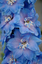 350 Blue & Pink Rocket Larkspur Delphinium Ajacis Seeds
