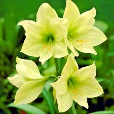 Amaryllis 'Lemon Lime' Spring Flowering Bulb Size 24/26