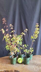 5x Japanese Maple pre Bonsai tree Seedlings for Forest Planting