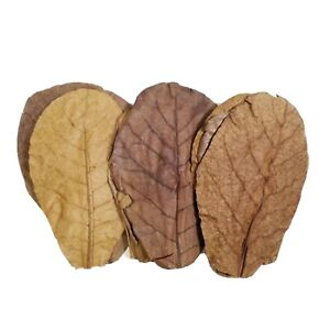 """7""""-9"""" Indian Catappa Almond Leaves. Tannins for Bettas, Shrimp, Discus, GRADE A*"""