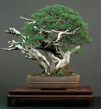 JUNIPERUS CHINENSIS - GINEPRO CINESE, 10 SEMI