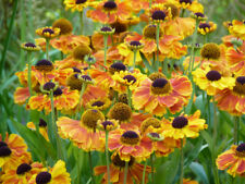 HELENIUM SAHIN'S EARLY FLOWERER PLANT SUMMER PERENNIAL UK GROWN HARDY