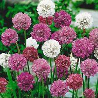 Armeria Mardi Gras Mix 3 Colours Alpine Perennial Frost Hardy Easily Grown Beaut