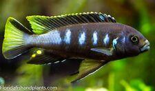 "(3) Pseudotropheus sp. Elongatus ""Chewere"" 1.5 inch African Cichlid Live Fish"