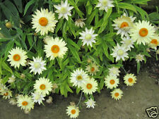White Strawflower or Paper Daisy Seeds Native Perennial