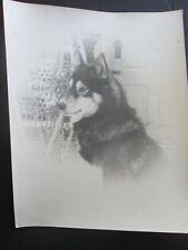 """8 x 10"""" Vintage Photo of Alaskan Sled Dog. Husky, Malamute, Samoyed? Snowshoes"""