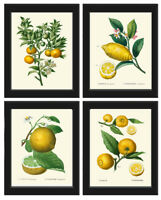 Unframed Botanical Print Set of 4 Antique Lemon Orange Citrus Tree Home Wall Art