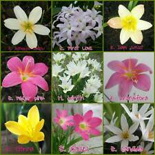 Rain Lily Mix 9 Bulbs 9 Species Zephyranthes & Habranthus, Flowering Size (9x1)