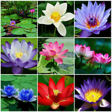 Lotus Flower Lotus Seeds Aquatic Plants Water Lily Seed 10 Pcs Mix FREE SHIPPING