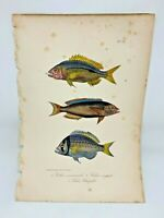 Fish Plate 73 Lacepede 1832 Hand Colored Natural History