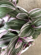 wandering jew houseplant Green And Pink Plant