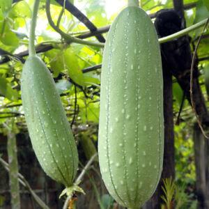 10 Seeds of Loofah Gourd Sponge (Luffa Aegyptiaca) Annual Plant UK SELLER