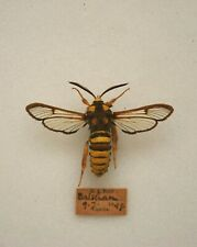 More details for old hornet moth insects/moths taxidermy