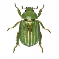 Chrysina gloriosa ONE REAL GREEN GOLD SCARAB BEETLE ARIZONA UNMOUNTED PACKAGED