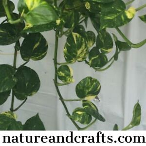Golden Pothos - Money Plant Cuttings, Well rooted, top quality, P&P inc £5.99