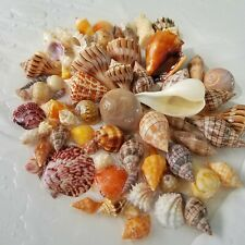 Lot Seashells Shells Gulf SW Florida Alphabet Cone Tulips Olives Conchs 0711D