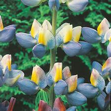 Kings Seeds - Lupin Sunrise - 40 Seeds