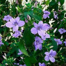 Barleria obtusa / Bush Violet / Evergreen sub-shrub / Fast growing / 10 Seeds