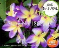 Bonsai Plumeria Frangipani Seeds Plants Hawaiian Lei Flower Rare 50pcs/bag