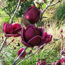 Rare Genie Dark Red Yulan Magnolia Tree plant Flower 10 Seed Fragrant Garden