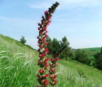 VIPER'S BUGLOSS RED RUSSIAN Echium Russicum Rubrum - 50 Bulk Seeds