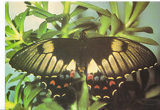 Animal Postcard - Butterfly - Orchard Swallowtail - Papilio Aegeus   AB2135