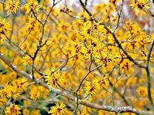 "10 Winter Beauty Witch Hazel Seeds - Hamamelis x intermedia "" winter beauty """