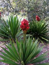 Giant Flame Lily (Doryanthes excelsa )  20 Seeds