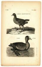 1776 Pennant Common Gallinule Coot Copper Engraving Antique Bird Zoology Print