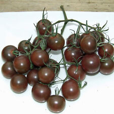 TOMATO Black Cherry Heirloom Seeds (V 414)