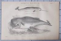 1868 Aufdruck Aquatic Mammalia Narwhal Cachalot Sperma Wal