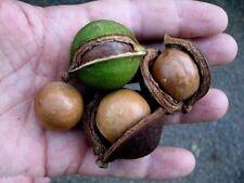 4 Graines Noyer du Queensland , Macadamia Integrifolia tree seeds