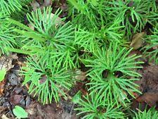 30 Goundcedar Spores Shade Plant